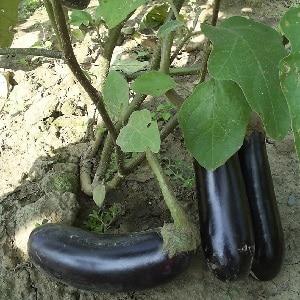 """Подарок от современных селекционеров - баклажан """"Фабина f1"""" с крупными плодами и впечатляющей урожайностью"""