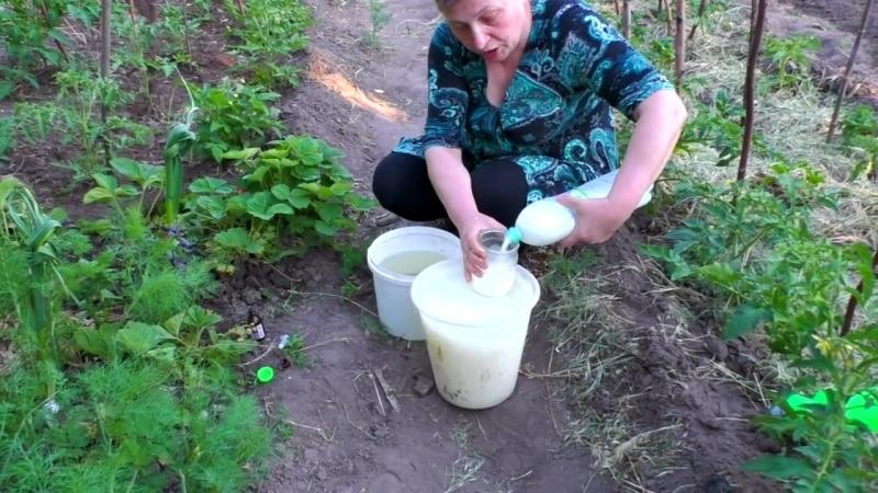 Подкормка помидоров и огурцов сывороткой: польза кисломолочного продукта для получения обильного урожая