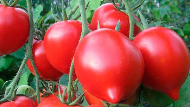 """Получаем рекордный урожай с томатом """"Хали гали"""": лайфхаки огородников и основные правила ухода за гибридом"""