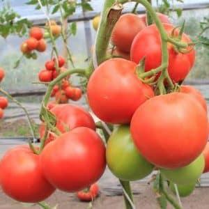 """Чем вам могут запомниться помидоры сорта """"Шедевр"""" и как получить достойный урожай"""
