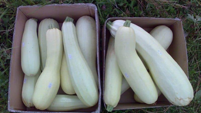 Пошаговая технология выращивания кабачков в теплице: соблюдаем правила и наслаждаемся полученным результатом
