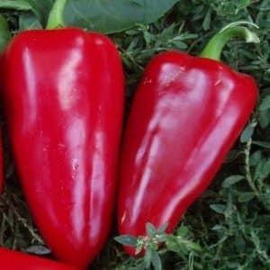 """Почему садоводы так любят сорт перца """"Богатырь"""" и как его правильно вырастить"""
