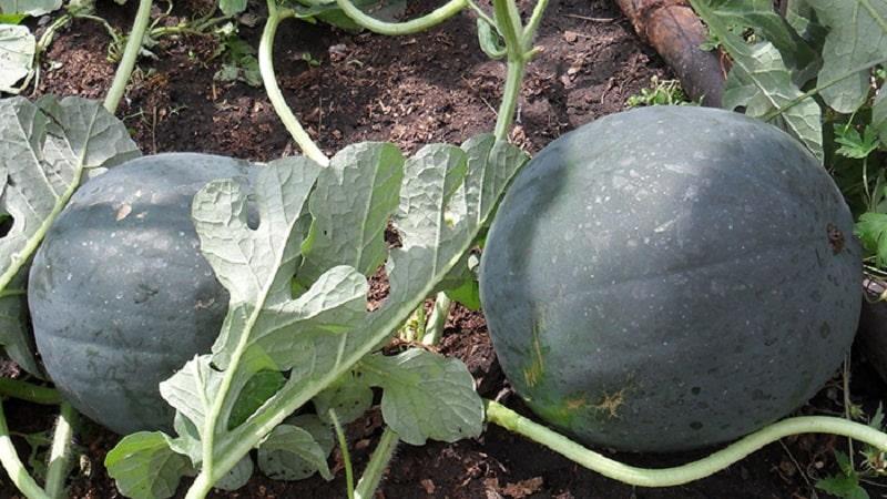 """Сорт, подходящий для выращивания даже в северных регионах страны -  арбуз """"Сахарный малыш"""""""