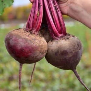 """Как правильно выращивать замечательный гибрид свеклы """"Кестрел"""" и чем он отличается от других видов"""