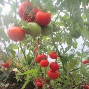 """Получаем богатый урожай даже в неблагоприятных погодных условиях, выращивая томат """"Алтайский шедевр"""""""