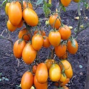 """Высокорослый и богатый на урожай томат """"Чухлома"""": выращиваем самостоятельно и наслаждаемся плодами"""