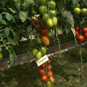 """Томат """"Гроздевой"""" - отличная урожайность и запоминающийся вкус"""