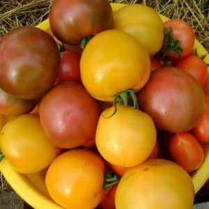 """Чем так нравится дачникам томат """"Илья Муромец"""" и как вырастить его самостоятельно на своем участке"""