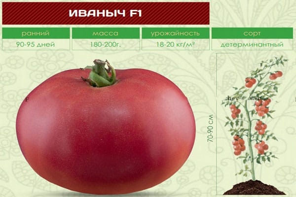 """Следуйте инструкции и гибридный томат """"Иваныч f1"""" удивит вас обильным плодоношением на грядке или в теплице"""