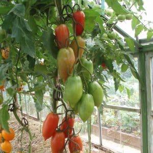 """Может ли томат """"Красавчик"""" быть не только украшением вашей грядки, но и давать хороший урожай"""