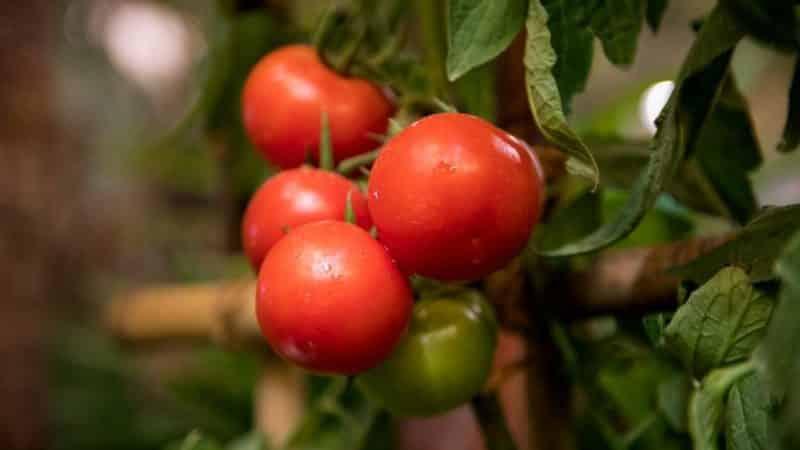 """Правда ли, что томат """"Кукла"""" это лучший сорт для выращивания в теплице?"""
