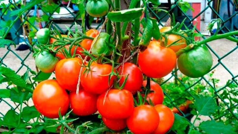 """Оправдывает ли свое название томат """"Лакомка"""" и что говорят овощеводы о сорте"""