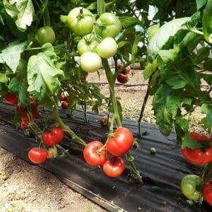 """Как правильно выращивать томат """"Львович f1"""": инструкция от опытных агротехников для максимальной урожайности"""
