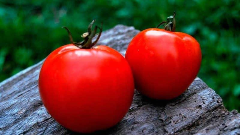 """Собираем богатый урожай, соблюдая правила ухода - томат """"Ляна"""" и методика его выращивания"""
