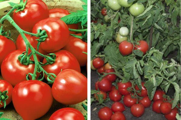 """Оправдывает ли свое название томат """"Моя любовь"""": плюсы и минусы гибрида"""