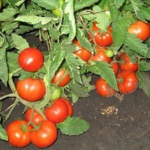 """Руководство для начинающих огородников: выращиваем гибридный томат """"Наша Маша f1"""""""