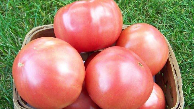 """Сладкий гибридный сорт розового томата """"Пинк леди f1"""": чем хорош и почему его стоит попробовать вырастить"""