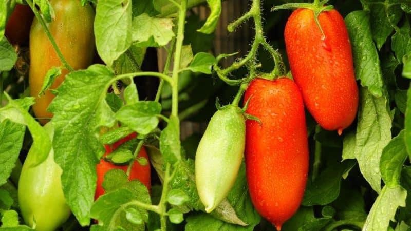 Томат Петр Великий: урожайность, характеристика и описание сорта с отзывами и фото