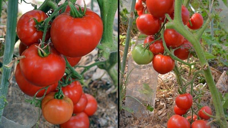 """Какую урожайность можно ожидать от сорта томатов """"Ранняя девочка"""""""