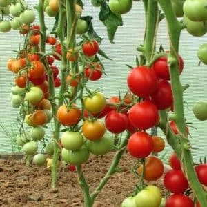 """Молодой сорт, успевший полюбиться огородникам - томат """"Сибирское яблоко"""""""