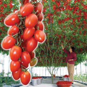 """Как ухаживать за томатом """"Спрут Сливка"""" в открытом грунте и теплице"""