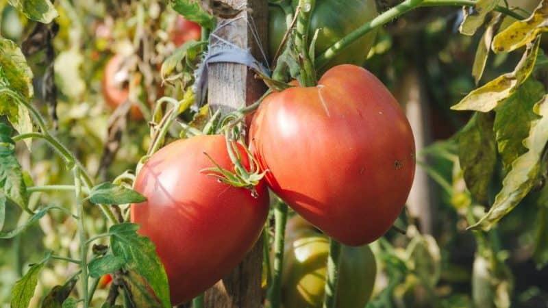 Учимся у опытных дачников как пасынковать помидоры правильно: разбор нюансов и пошаговое описание процесса