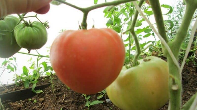 Крупноплодный сорт с деликатным вкусом для диетического питания - томат {amp}quot;Царь колокол{amp}quot;