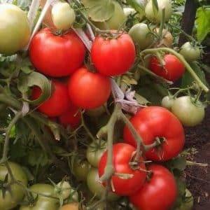 """Почетный гость на вашем загородном участке - томат """"Важная персона"""" и его преимущества перед другими сортами"""