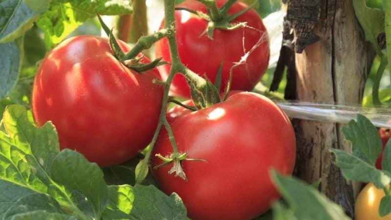 """Как вырастить томат """"Волгоградский скороспелый 323"""" и чем он порадует овощевода"""