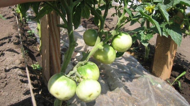 """Рекомендации по уходу за томатом """"Вспышка"""": что может повлиять на урожайность"""