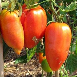 """Тонкости успешного выращивания удивительных помидоров сорта """"Перцевидный гигант"""""""