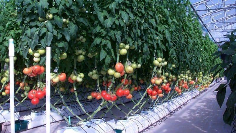 Топ-6 лучших способов, как подвязывать помидоры в теплице: пошаговые инструкции и советы огородников со стажем