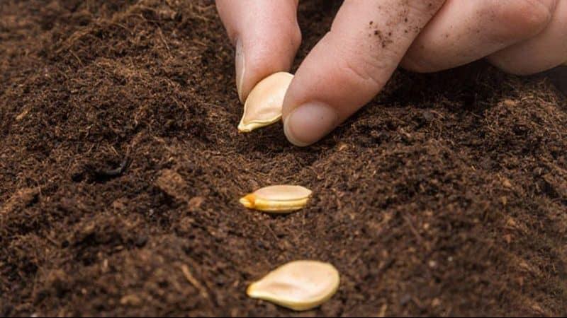 """Вкусная и яркая тыква """"Капитошка"""": знакомимся с сортом и отзывами огородников о его выращивании"""