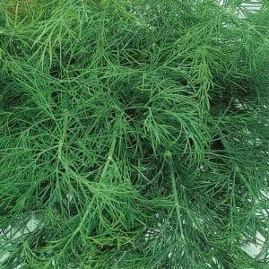 Важные этапы для получения хорошего урожая укропа Аллигатор: от подготовки семян до профилактики болезней