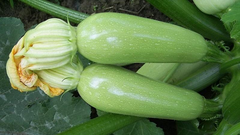 """Выращиваем стойкий к заболеваниям кабачок """"Арал"""" правильно и бьем рекорды урожайности"""