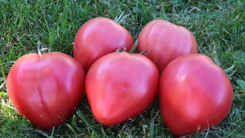 Описание сорта томата орлиное сердце