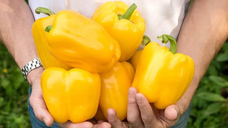 Яркий и вкусный сладкий перец {amp}quot;Золотое чудо{amp}quot;: правила ухода для получения богатого урожая