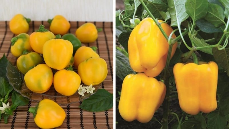 """Яркий и вкусный сладкий перец """"Золотое чудо"""": правила ухода для получения богатого урожая"""