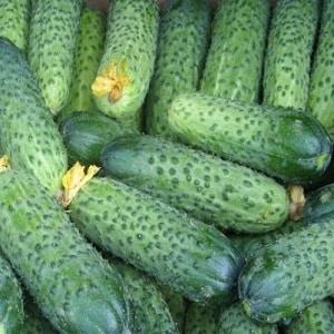 """Голландский гибридный огурец """"Седрик"""", рекомендованный для выращивания в тепличных условиях"""
