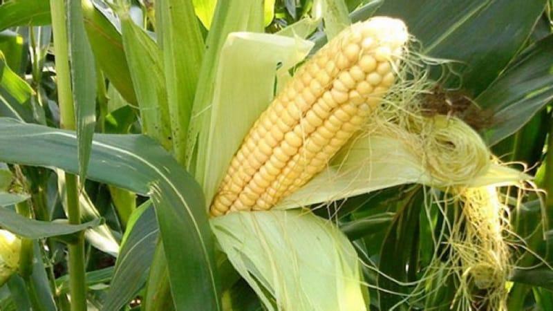 Как понять, что кукуруза созрела: собираем урожай вовремя, в зависимости от его дальнейшего применения
