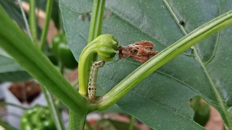 Как избавиться от гусениц на перце