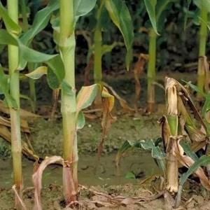 Как бороться с самыми опасными вредителями и болезнями кукурузы
