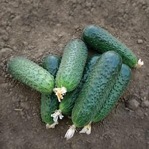 """Раннеспелый гибрид огурцов """"Беттина"""" для теплиц, открытого грунта и выращивания на подоконнике"""