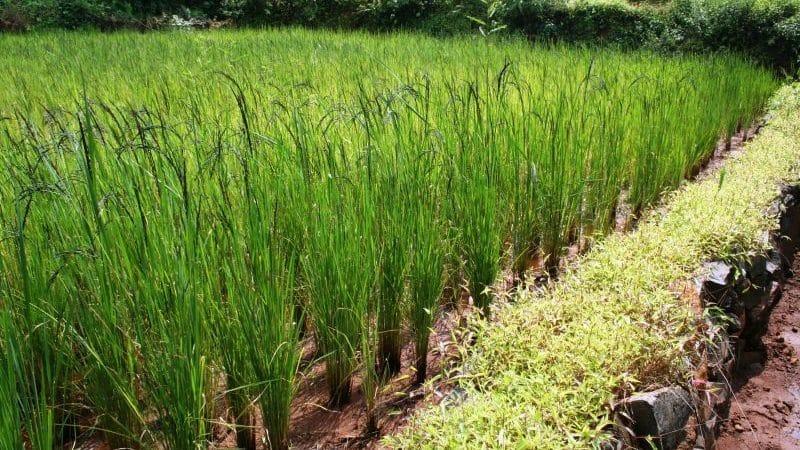 Польза и вред дикого риса для организма человека