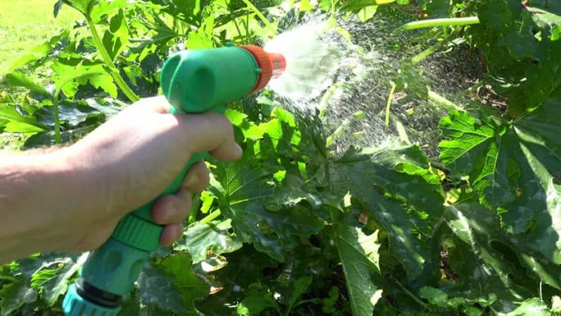Как, когда и чем чем подкормить тыкву во время цветения и плодоношения: советы садоводов и распространенные ошибки