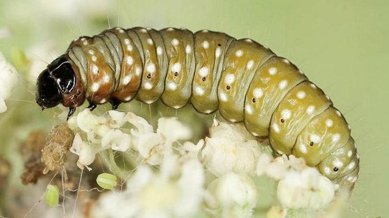 Как избавиться от гусениц на укропе: самые эффективные методы борьбы с вредителями