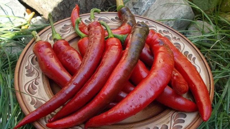 Подборка лучших сортов острого перца и советы по их выбору