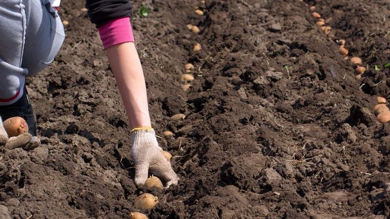 """Вкусный раннеспелый картофель """"Коломба"""" (Коломбо) от голландских селекционеров"""