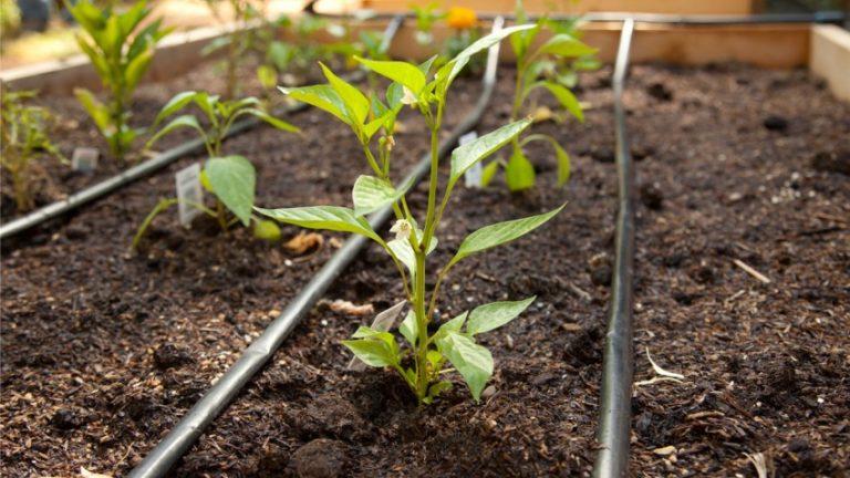 Как часто поливать перец в теплице: гайд по правильному поливу для высокой урожайности