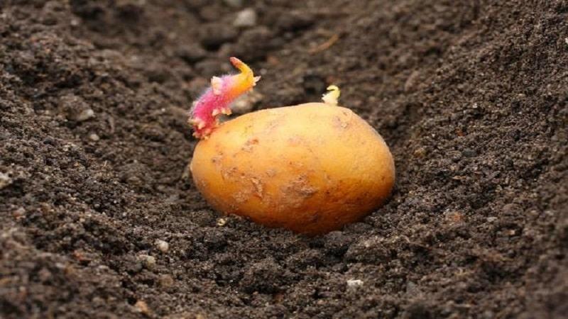 """Ранний низкорослый сорт картофеля """"Джувел"""" из Германии"""